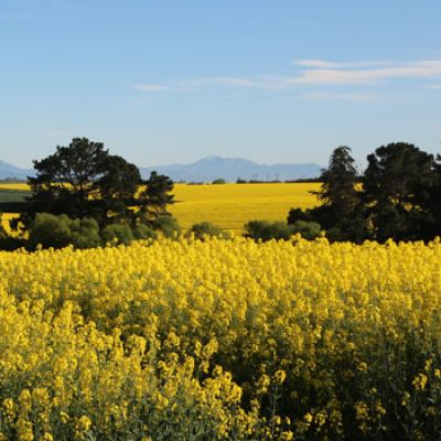 Canola fields, thumb
